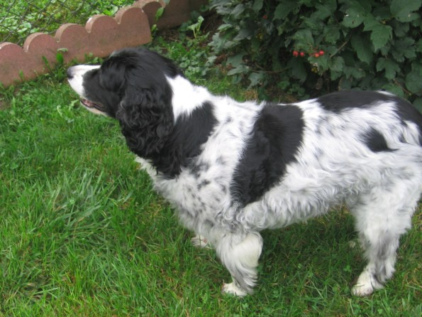 Kelsea, our elderly Springer Spaniel